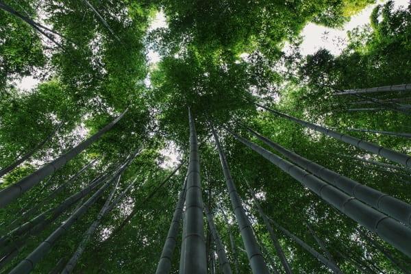 Kyoto-Reisetipps: Bambuswald von Arashiyama.