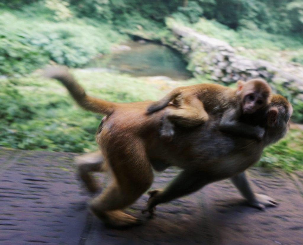 Affen am Golden Whip Stream bei den Halleluja-Bergen