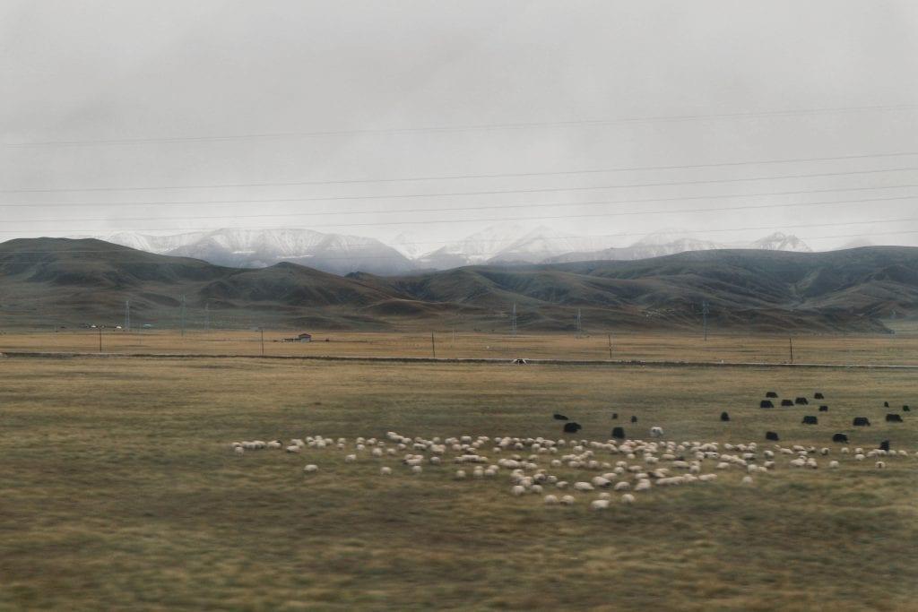 Yaks und Schafe im tibetischen Hochland