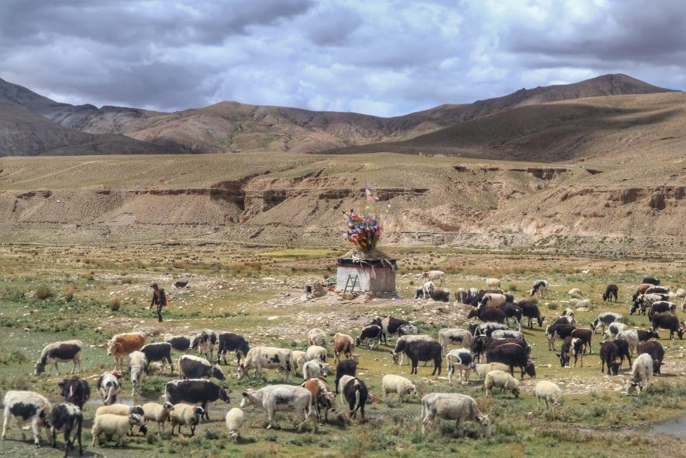 Kühe in Tibet
