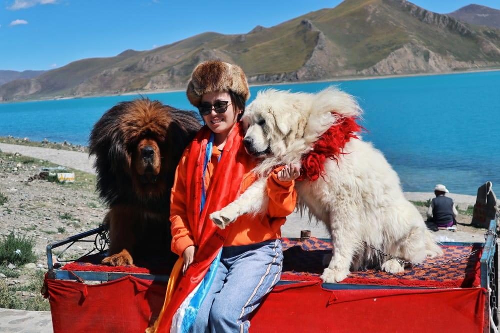 Tibetischer Hund Mastiff