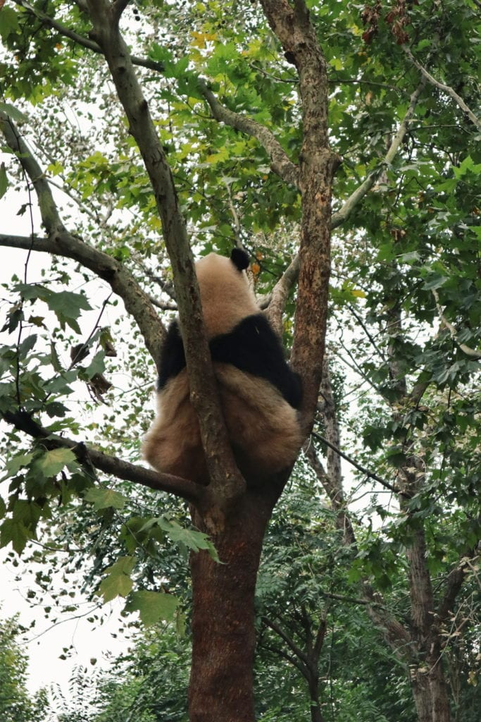 Großer Panda in China
