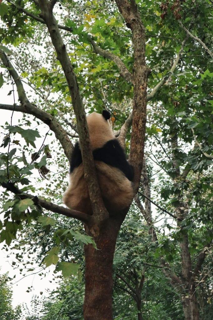 Großer Panda in China