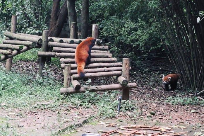 Kleiner Panda im Chengdu Research Base of Giant Panda Breeding
