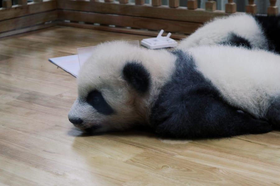 Panda Geburtshaus im Chengdu Research Base of Giant Panda Breeding