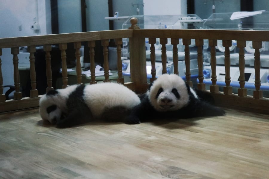 Panda im Brutkasten in Chengdu Research Base of Giant Panda Breeding