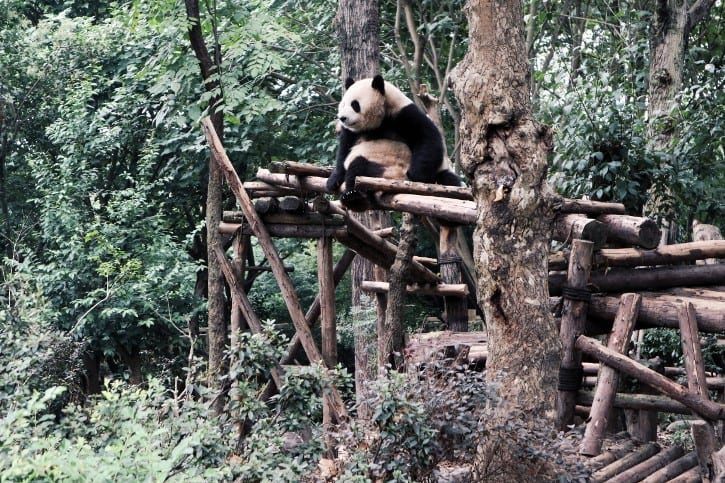 Panda im Chengdu Research Base of Giant Panda Breeding