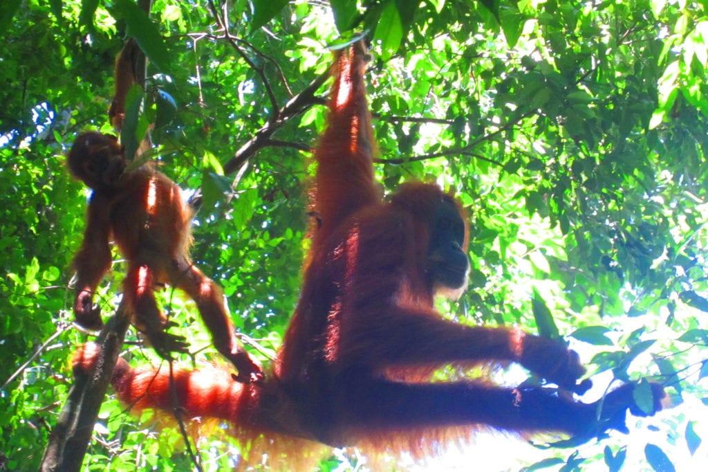 Bukit Lawang Mutter Orang Utan mit Baby