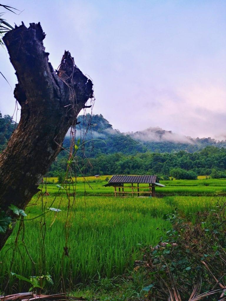 Reisfelder bei der Wat Pa Tam Wua Forest Monastery