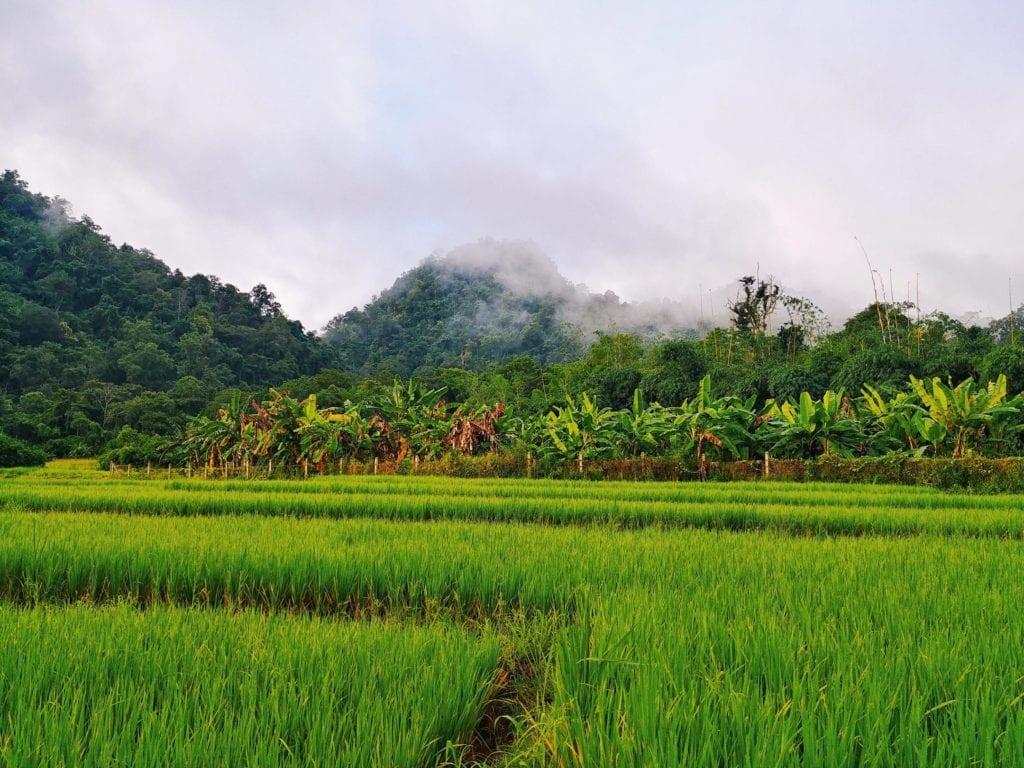Reisfelder vor der Wat Pa Tam Wua Forest Monastery