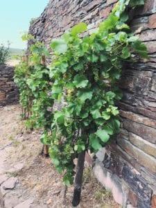 Weinrebe im Ahrtal