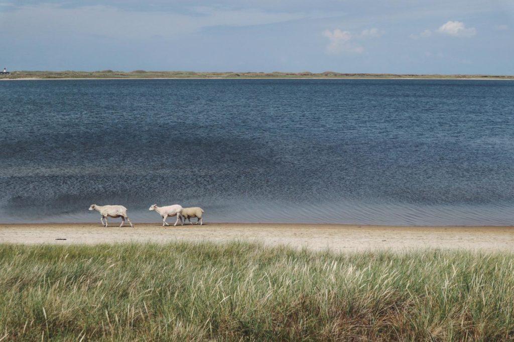 Schafe Lister Ellebogen Sylt
