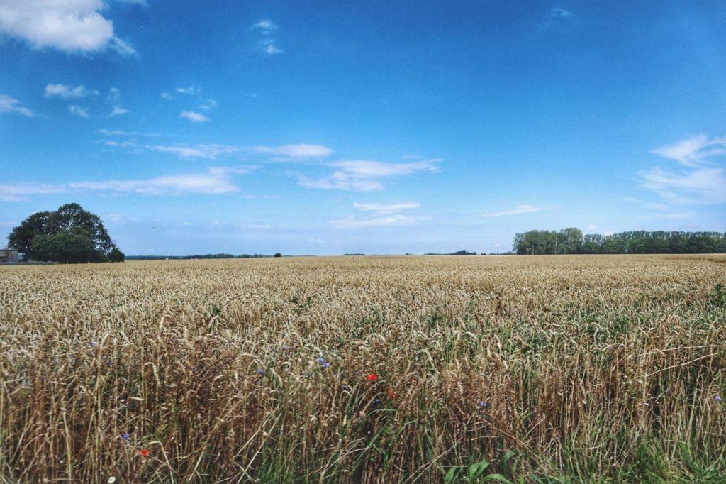 Ausflug nach Ummanz_gelbe Weizenfelder Rügem