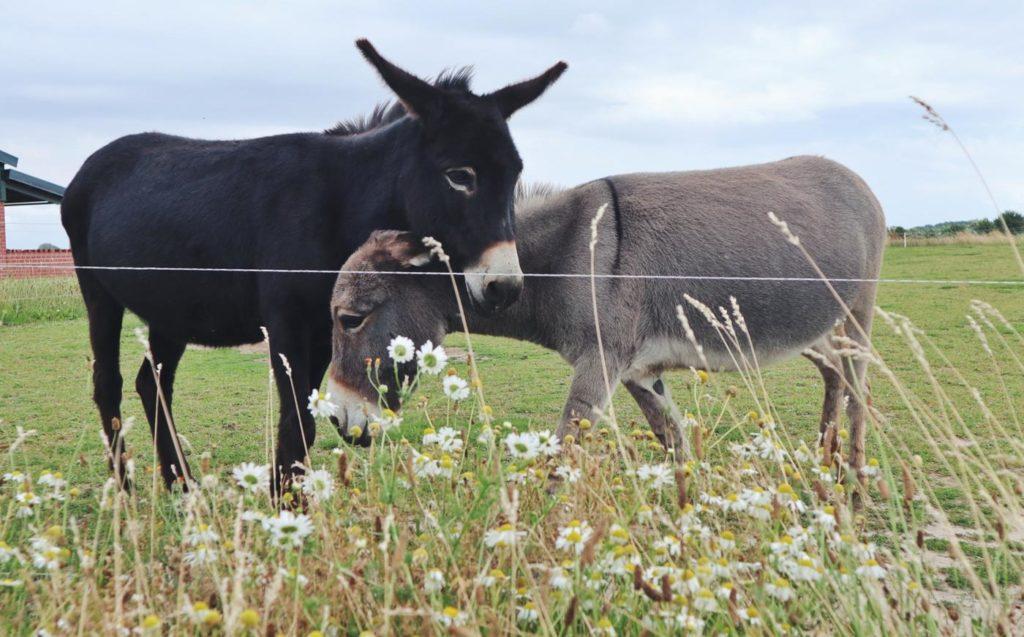 Esel beim Erlebnis Bauernhof Kliewe bei Ummanz_Rügen